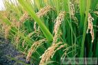 Recept Rýchla varená ryža - ryžové polia