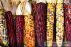 Recept Varená kukurica - farebná kukurica