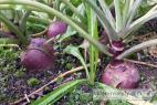 Recept Zeleninový šalát s valeriánom - okrúhlica (kapusta)